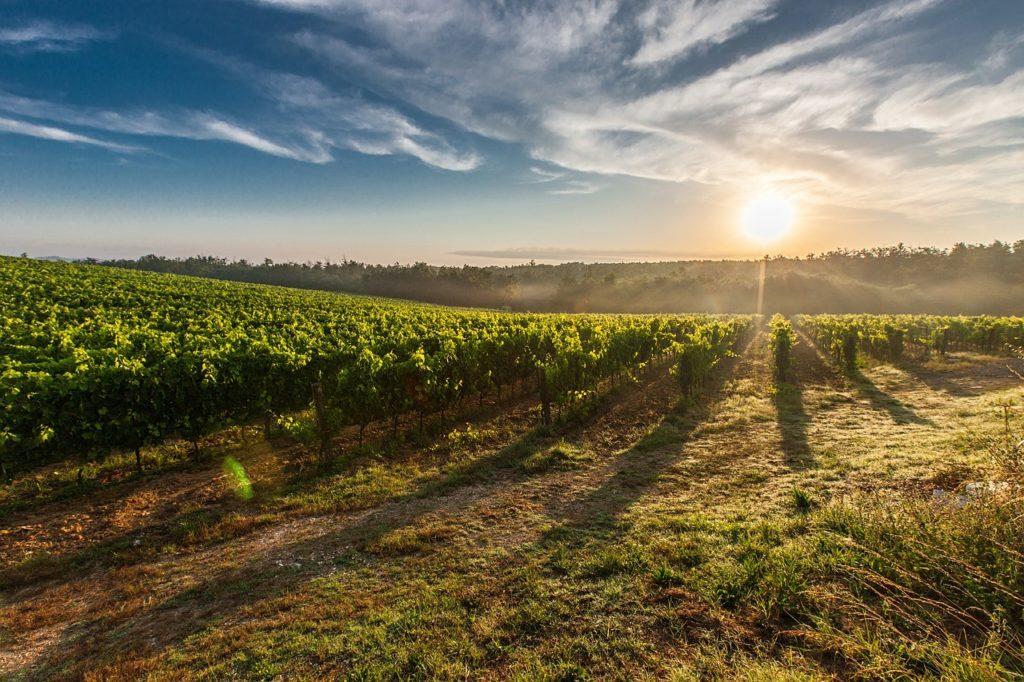 Durante el proceso de cosecha de un vino ecológico está terminantemente prohibido el uso de cualquier producto químico